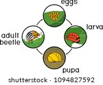 life cycle of colorado potato... | Shutterstock .eps vector #1094827592