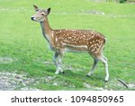 Deer On Green Meadow