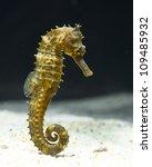 Seahorse  Hippocampus  Swimmin...