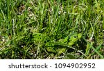 beautiful emerald lizard in... | Shutterstock . vector #1094902952