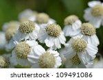 Small photo of At estate De Horsten in Voorschoten in The Netherlands the Wild Bertram or Achillea Ptarmica is in bloom.
