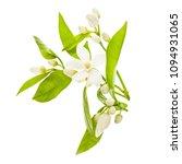 Flowering Citrus. Spring. White ...