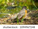 robin bird in marshy woodland | Shutterstock . vector #1094967248