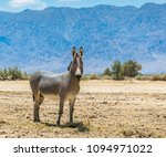 somali wild donkey  equus... | Shutterstock . vector #1094971022