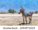 somali wild donkey  equus... | Shutterstock . vector #1094971025