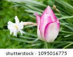 White And Pink Tulip In A...