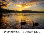 Black Swans During Sunset On...