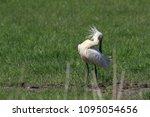 eurasian or common spoonbill in ... | Shutterstock . vector #1095054656