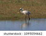 eurasian or common spoonbill in ... | Shutterstock . vector #1095054662