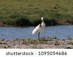 eurasian or common spoonbill in ... | Shutterstock . vector #1095054686