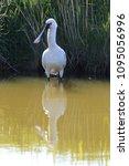 eurasian or common spoonbill in ... | Shutterstock . vector #1095056996