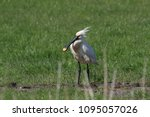 eurasian or common spoonbill in ... | Shutterstock . vector #1095057026