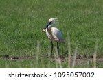 eurasian or common spoonbill in ... | Shutterstock . vector #1095057032