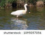 eurasian or common spoonbill in ... | Shutterstock . vector #1095057056