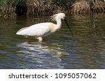 eurasian or common spoonbill in ... | Shutterstock . vector #1095057062