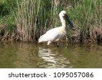 eurasian or common spoonbill in ... | Shutterstock . vector #1095057086