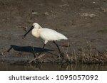 eurasian or common spoonbill in ... | Shutterstock . vector #1095057092