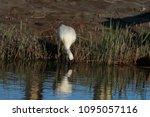 eurasian or common spoonbill in ... | Shutterstock . vector #1095057116
