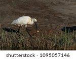 eurasian or common spoonbill in ... | Shutterstock . vector #1095057146
