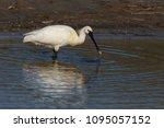 eurasian or common spoonbill in ... | Shutterstock . vector #1095057152
