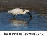 eurasian or common spoonbill in ... | Shutterstock . vector #1095057176