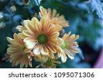 beautiful gerbera l.  transvaal ... | Shutterstock . vector #1095071306