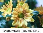 beautiful gerbera l.  transvaal ... | Shutterstock . vector #1095071312
