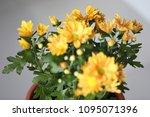 beautiful gerbera l.  transvaal ... | Shutterstock . vector #1095071396