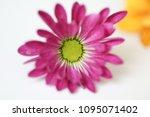 beautiful gerbera l.  transvaal ... | Shutterstock . vector #1095071402