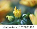 beautiful gerbera l.  transvaal ... | Shutterstock . vector #1095071432