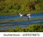 Small photo of Two avocets fly closely above marsh waters