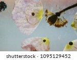 dry poppy petals   Shutterstock . vector #1095129452