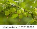 Berries Of Gooseberries On A...