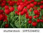 beautiful colorful red tulip... | Shutterstock . vector #1095236852
