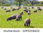 pigs graze on farm in...   Shutterstock . vector #1095318632