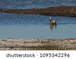 eurasian or common spoonbill in ... | Shutterstock . vector #1095342296