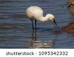 eurasian or common spoonbill in ... | Shutterstock . vector #1095342332
