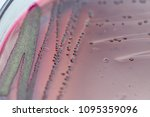 colony characteristics of... | Shutterstock . vector #1095359096