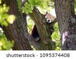 cute red panda  ailurus fulgens ... | Shutterstock . vector #1095374408