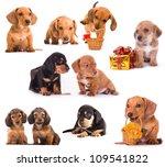 Dachshund Puppies In Different...