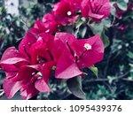 this is violet flora   Shutterstock . vector #1095439376