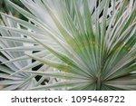 bright green tropical palm...   Shutterstock . vector #1095468722