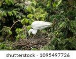adult egret and little egret | Shutterstock . vector #1095497726