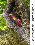Small photo of Red Macaw (Ara chloropterus) Costa rica