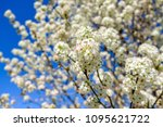 Blooming Cleveland Pear Tree I...
