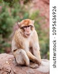 monkey sitting and watching on... | Shutterstock . vector #1095636926