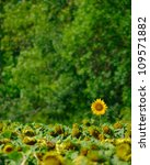 Image Of Sunflowers On The...