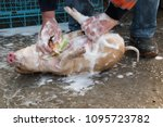 farmer bathes red pig in sink... | Shutterstock . vector #1095723782