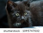 Stock photo a small black kitten looking at something 1095747032