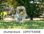Pekingese Playing With A Ball...
